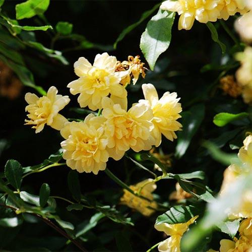 如何栽培和养植木香花