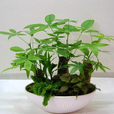 发财树 富贵竹组合 节节高 绿植盆栽 室内办公桌防辐射植物