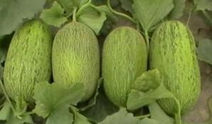 新疆哈密瓜水果1只约7斤