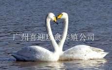 贵州白天鹅价格,贵阳白天鹅价格