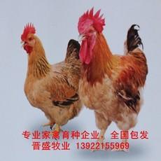 厂家K9鸡苗价格,国内专业育种公司K9鸡苗批发