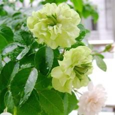 苏之叶批发绿月季绿星月季花苗 稀有新品种 藤本 欧洲月季 盆栽花卉苗木地栽盆栽苗木价格公道热销中