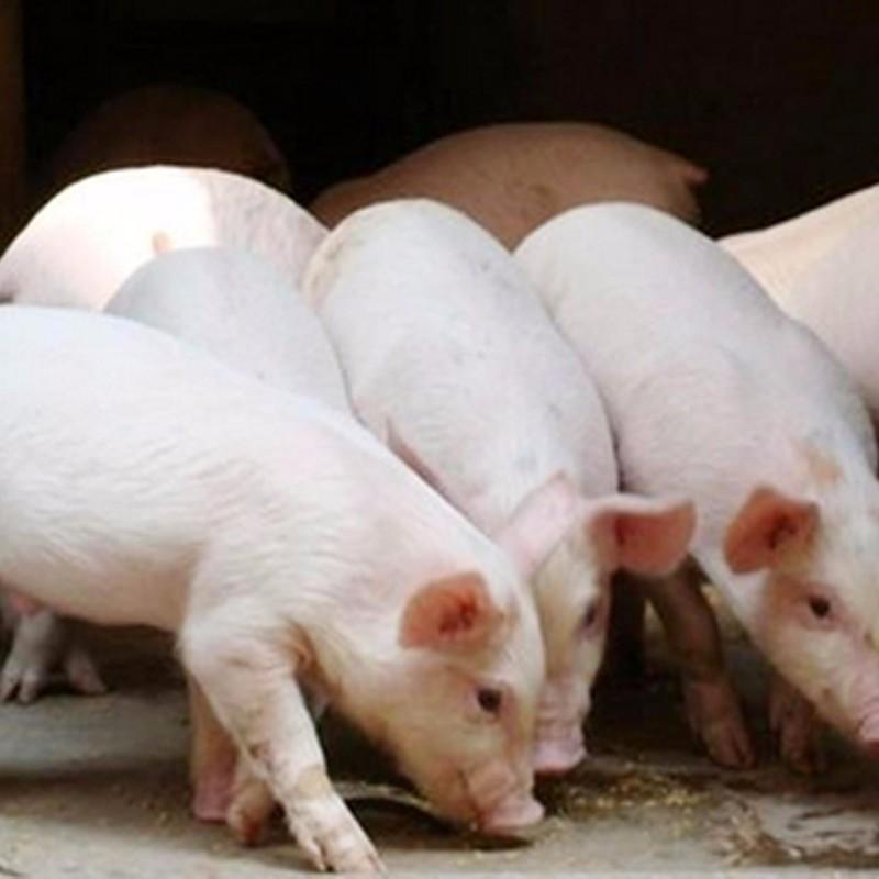 供应生猪厂家直供优质猪