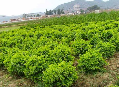 优质连翘大量供应,连翘栽培基地