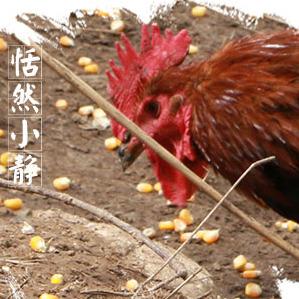 农二哥正宗山林放养土鸡  贵州产地
