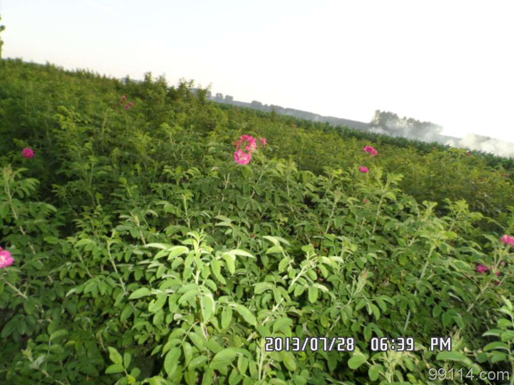 灌木玫瑰玫瑰绿化苗木玫瑰价格