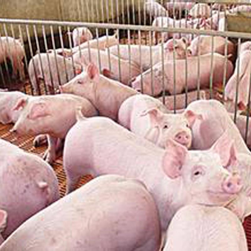 供应优质生猪 厂家直供