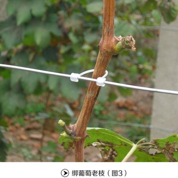 葡萄蘸药 葡萄膨大技术 葡萄上色 葡萄扦插