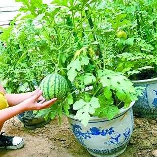 供应蔬菜种子家庭盆栽 玲珑小西瓜种子