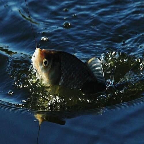 供应 农家养殖 优质淡水鱼 鲫鱼