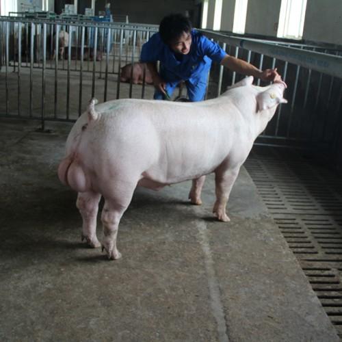 韩城丰源养殖专业合作社 产地直供优质三元猪