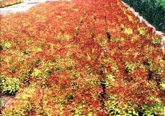 供应金焰绣线菊,产自大苗圃名声大