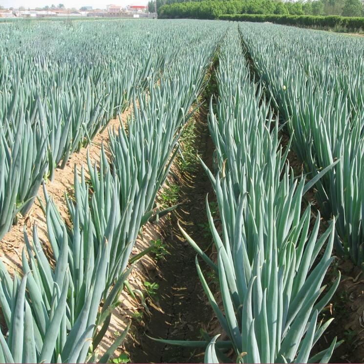 大葱施用有机肥的技术