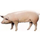 绿色无污染三元猪