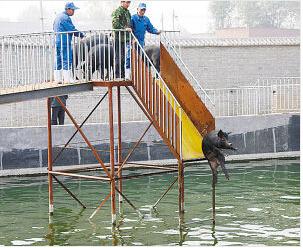 黑猪进军体育界玩高台跳水