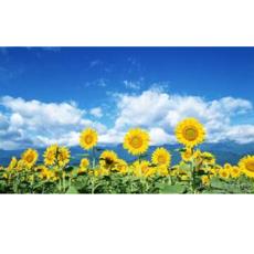 批发食用葵花种子向日葵种子