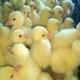 新乡原阳县专业养殖高品种的鹅苗