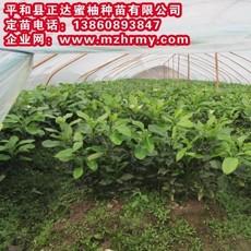 最近看到一个新品种—大三红蜜柚,三红蜜柚苗|柚子果苗供应,请认准平和正达蜜柚种苗有限公司