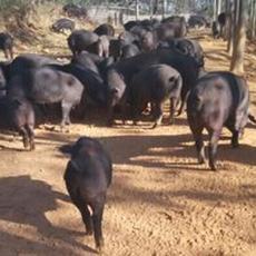 黑猪养殖 生猪批发