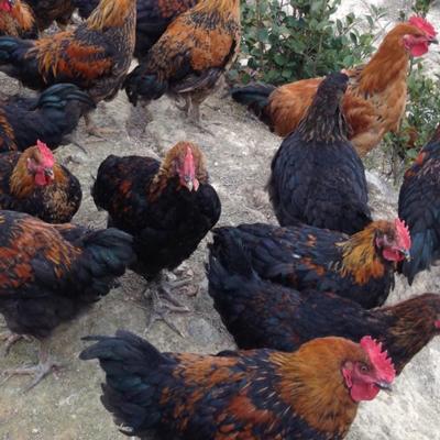 丰盛农林茶山鸡 躲过老鹰的飞鸡——茶山鸡