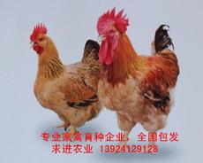 厂家麻黄鸡苗价格 国内专业育种公司麻黄鸡苗批发 种苗纯种