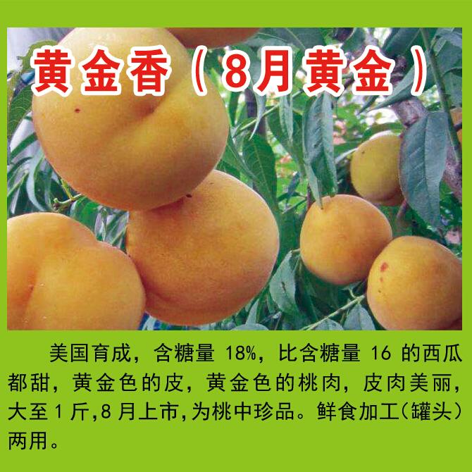 王氏明丰蜜桃园供应黄金香等多个品种   糖度高 品质优  耐储存   鲜食加工(罐头)两用