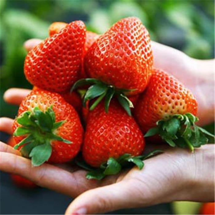 鑫泰园农业 新鲜法兰地草莓 新鲜草莓 国产草莓 味美多汁 草莓批发 现货