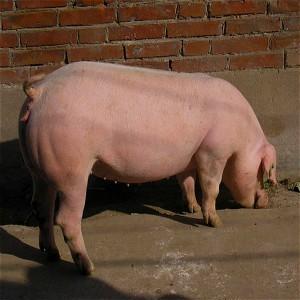 广安区生猪养殖合作社生猪销售