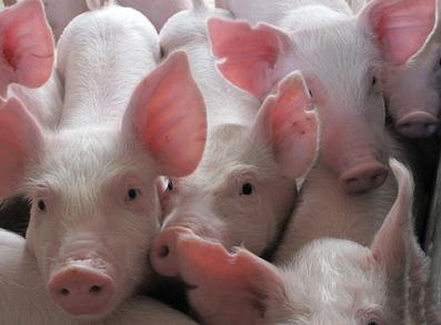青岛正大  正宗生态养殖  6kg外三元断奶小仔猪