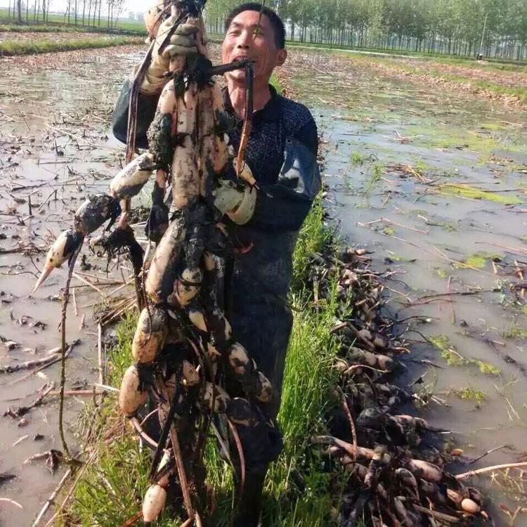 珍珠藕种批发 凤台县丹成莲藕种植专业提供藕种销售