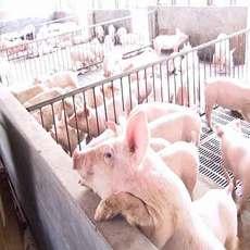 供应养殖场优质生猪 质量好肉质鲜美