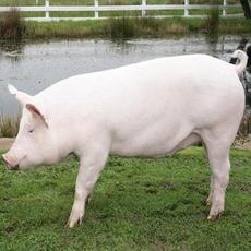 养殖农家大白猪 绿色无污染放养大白猪