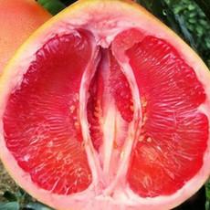 广西供应正宗三红蜜柚果苗,广西三红蜜柚苗|三红柚子苗|蜜柚树苗出售