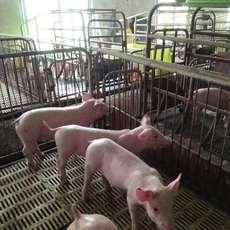 人工养殖,天然生猪,绿色无污染