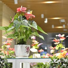 荷兰红掌盆栽花 建业绿色基地直供 红掌等高档插花盆花 易保存易维护