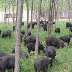 黑猪、农家乐,生态农庄专供、有机生态黑猪苗