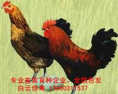 诚招高产绿壳蛋鸡苗批发经销商 高产绿壳蛋鸡苗价格行情