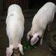 农家自养一年的土猪生态放养优质土猪肉