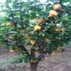 供应 上饶特产早梨 量大从优 品质保证