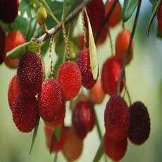 果场直供酸甜杨梅 现场采摘 新鲜上市