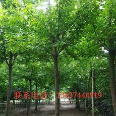 鄢陵绿之洲园林供应金叶复叶槭6一15公分  120一1800元  树形好  品质优