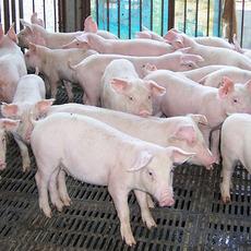 赵龙强养殖家庭农场 供应太湖猪生猪