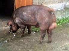 杜洛克猪【庆阳】