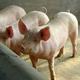 猪肉批发  销售  价格根据采购量有所优惠  欢迎来电咨询