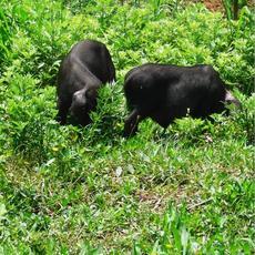 供应黑猪有机生态黑猪苗