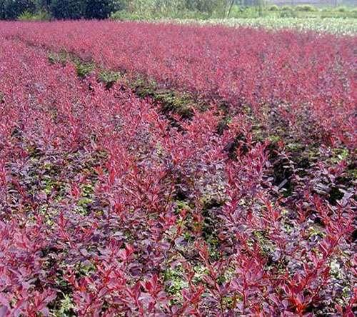 、美人梅、红叶碧桃、红栌、红宝石海棠、红瑞木、红叶小檗、金叶女贞、园艺苗木