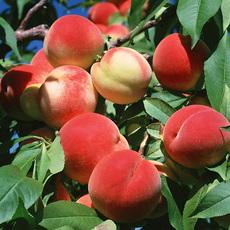 新乡市种植生产销售新鲜的桃子