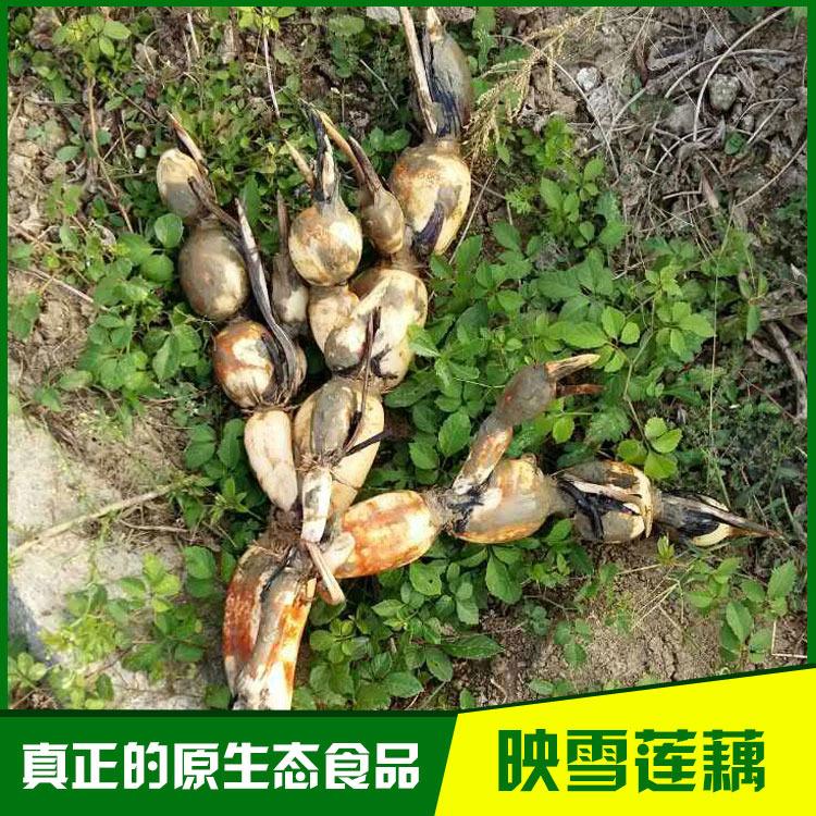 天门映雪新3735藕种批发 新品种 高亩产