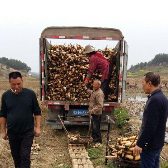 珍珠藕鄂莲7号批发 肉厚 鄂莲系列新品藕种生产示范基地