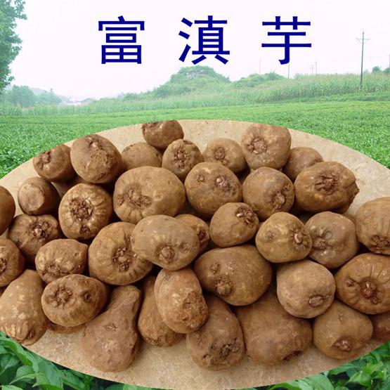 魔芋种子 云南脱毒富滇芋花魔芋种子 富源魔芋种子基地直销 厂家优质魔芋种子批发